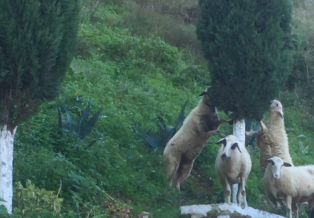 goats-in-berat