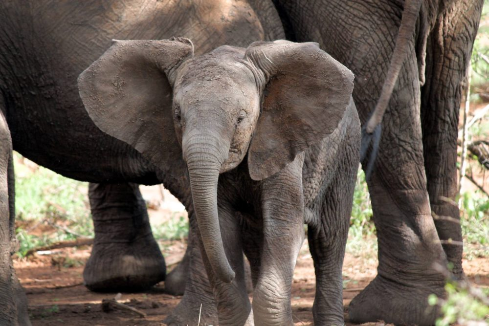 Visit elephants in Chobe - one of the greatest things to do in Livingstone, Zambia