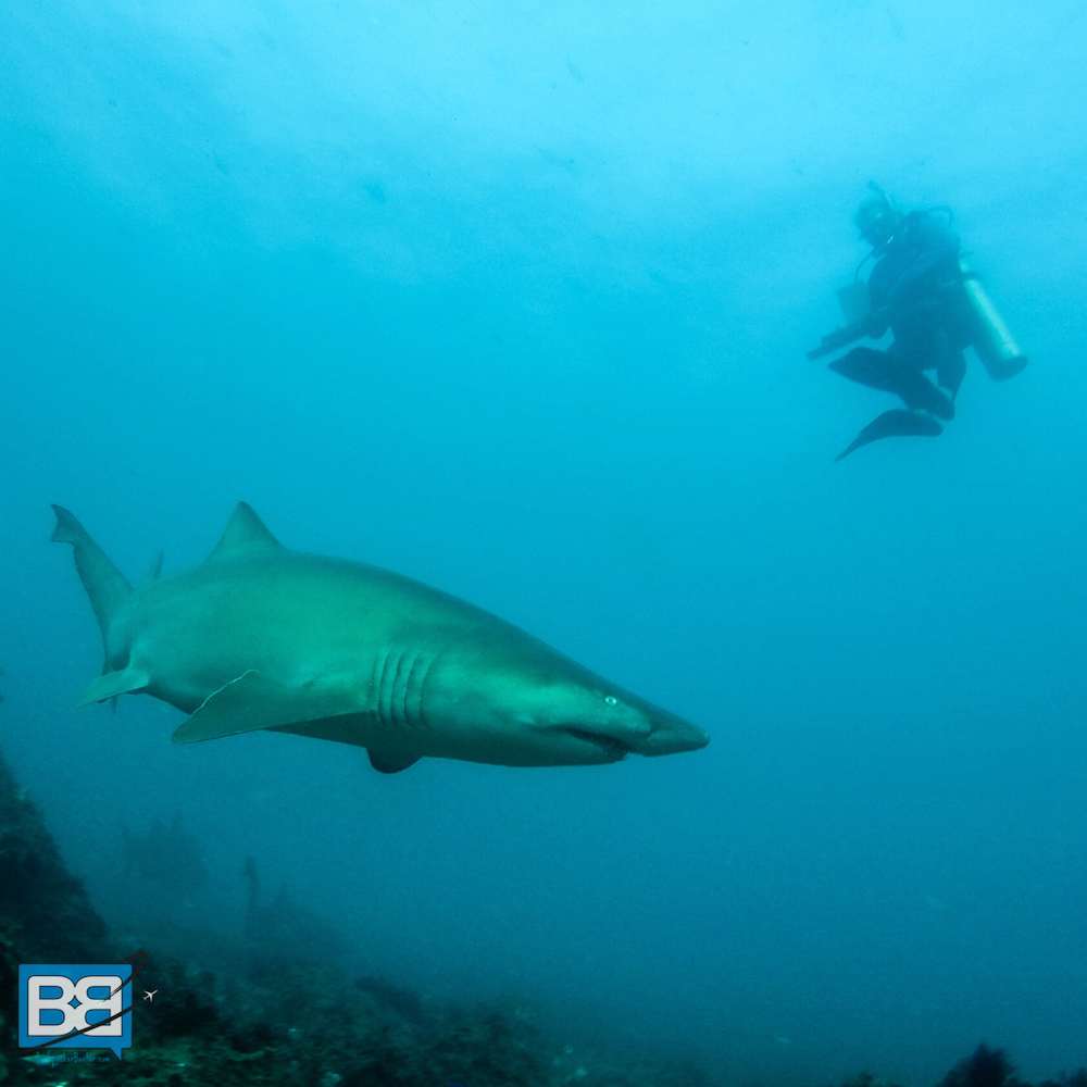 Why not learn to scuba dive with sharks in Australia?