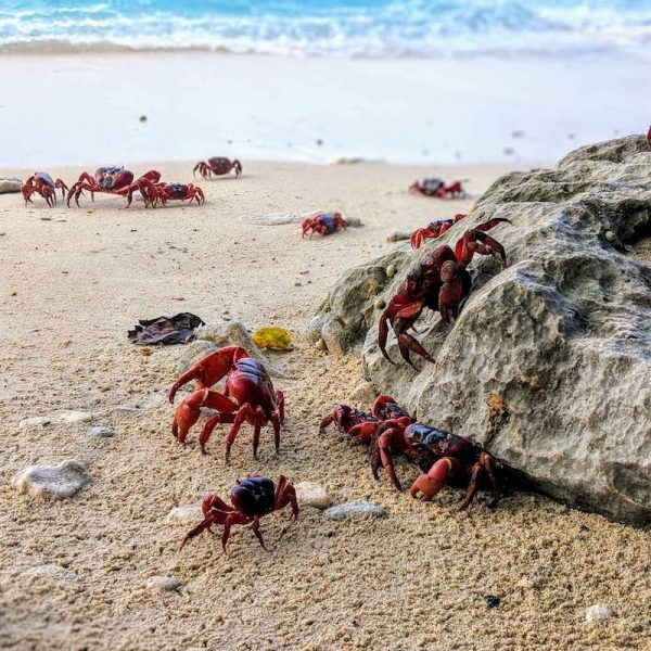 Crabs Migrating in Australia