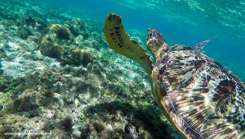 A sea turtle and coral. Apo Island, Philippines, an ecotourism destination for water lovers.