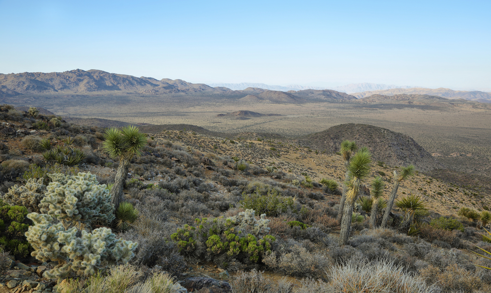 A few lne Joshua Trees and cacti looking over an otherwise deserted desert landscape in the Mojave Desert