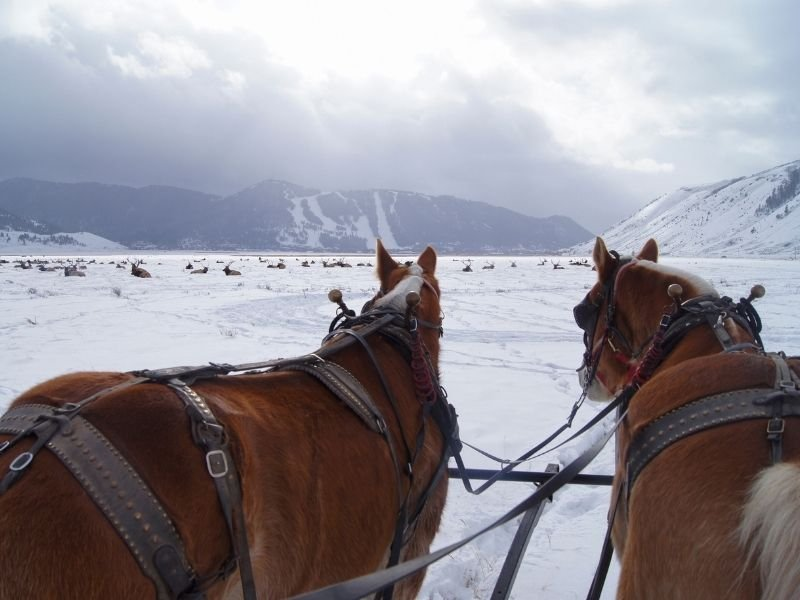 A view on a horse sleigh ride through the elk refuge near Grand Teton National Park with two beautiful reddish-brown horses