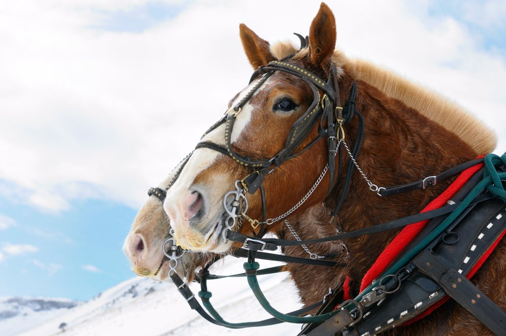 A close up of the faces of two horses ready to give a sleigh ride in the Elk Refuge for Jackson winter travelers