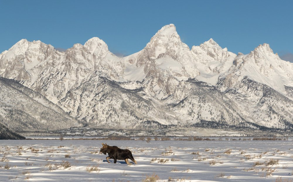A moose on a winter safari in Grand Teton National park