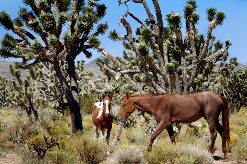two horses next to joshua trees in wild horse canyon in mojave national preserve